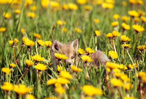 WLD 11 TL0002 01 © Kimball Stock Red Fox Pup Laying In Field Of Dandelions