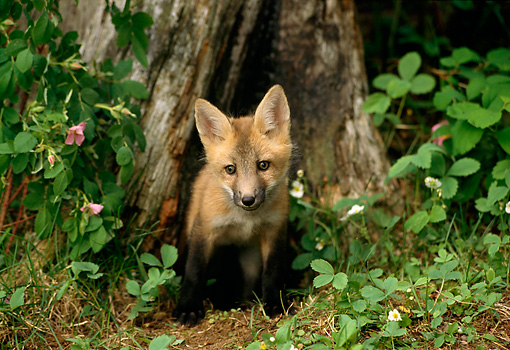 WLD 11 TL0005 01 © Kimball Stock Red Fox Pup Sitting At Mouth Of Den At Base Of Tree
