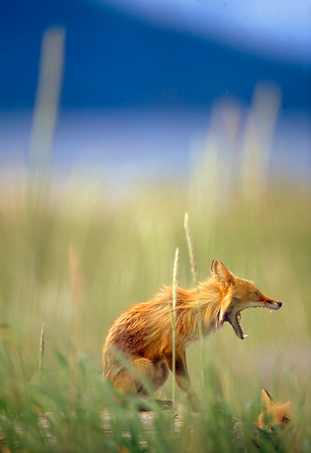 WLD 11 TL0007 01 © Kimball Stock Profile Of Red Fox Pup Yawning In Field Grass Blue Sky