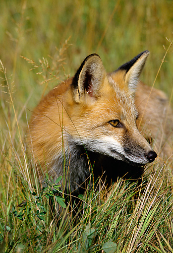 WLD 11 TL0009 01 © Kimball Stock Head Shot Of Red Fox Standing In Tall Grass
