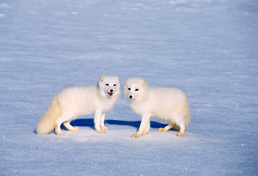 WLD 11 TL0011 01 © Kimball Stock Two Arctic Foxes Standing On Snow