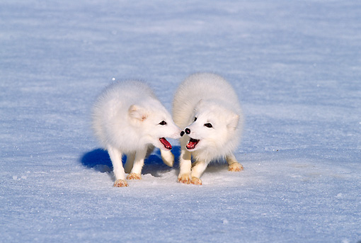 WLD 11 TL0013 01 © Kimball Stock Two Arctic Foxes Playing On Snow