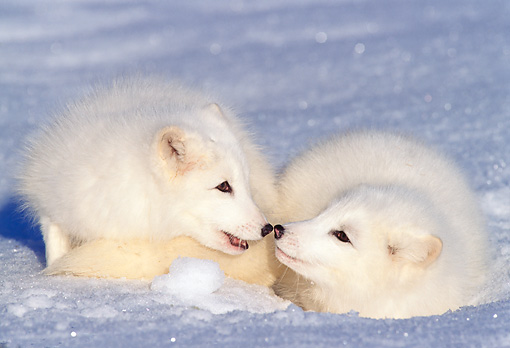 WLD 11 TL0014 01 © Kimball Stock Arctic Fox Greeting Arctic Fox Laying On Snow