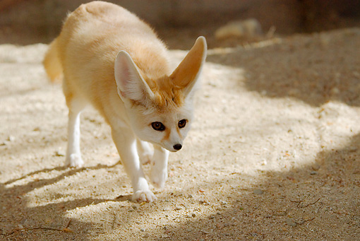WLD 11 TL0015 01 © Kimball Stock Fennec Walking On Dirt