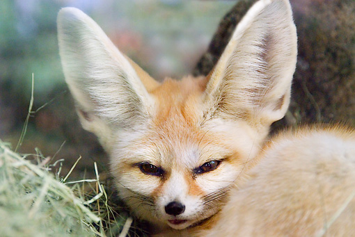 WLD 11 TL0016 01 © Kimball Stock Head Shot Of Fennec Curled Up