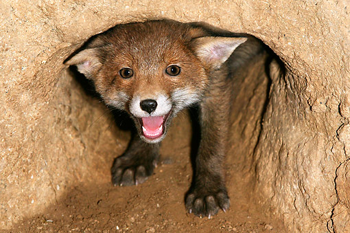 WLD 12 GL0002 01 © Kimball Stock Red Fox Cub Coming Out Of Den And Smiling, Normandy