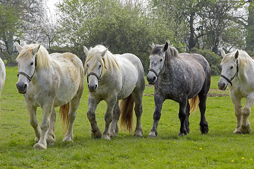 WLD 12 GL0004 01 © Kimball Stock Percheron Draft Horses Walking In Pasture