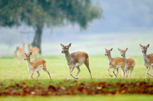 WLD 13 AC0002 01 © Kimball Stock Fallow Deer Does And Fawns Running On Grass