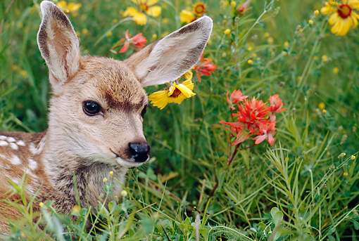 WLD 13 BA0001 01 © Kimball Stock Head Shot Of Mule Deer Fawn Laying In Field by Yellow And Red Flowers