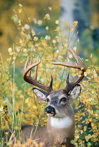 WLD 13 BA0003 01 © Kimball Stock Close-Up Of White-Tailed Deer Buck Standing In Field