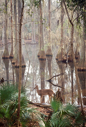 WLD 13 BA0008 01 © Kimball Stock White-Tailed Deer Doe Standing In Florida Baldcypress Swamp Profile