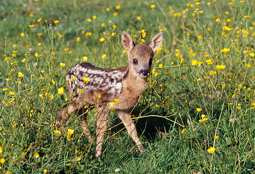 WLD 13 GL0001 01 © Kimball Stock Roe Deer Fawn Standing In Grass And Wildflowers