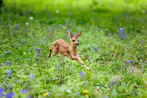 WLD 13 GL0003 01 © Kimball Stock Roe Deer Fawn Leaping Through Wildflowers