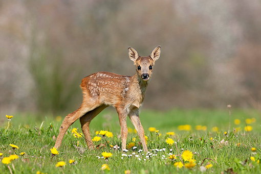 WLD 13 GL0005 01 © Kimball Stock Roe Deer Fawn Standing In Meadow With Dandelions Normandy
