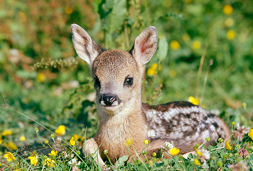 WLD 13 GL0006 01 © Kimball Stock Roe Deer Fawn Resting In Grass And Wildflowers
