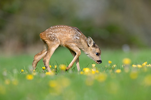 WLD 13 GL0011 01 © Kimball Stock Roe Deer Fawn Exploring In Meadow In Normandy