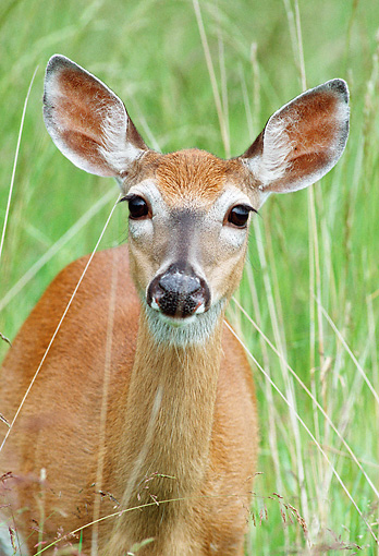 WLD 13 GR0013 01 © Kimball Stock Portrait Of White-Tailed Deer Doe Standing In Tall Grass