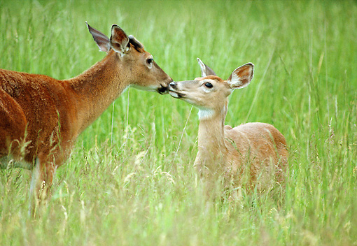 WLD 13 GR0015 01 © Kimball Stock White-Tailed Deer Doe And Buck Standing In Tall Grass