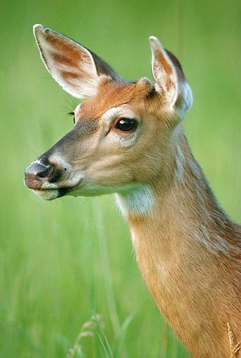 WLD 13 GR0016 01 © Kimball Stock Head Shot Of White-Tailed Deer Doe
