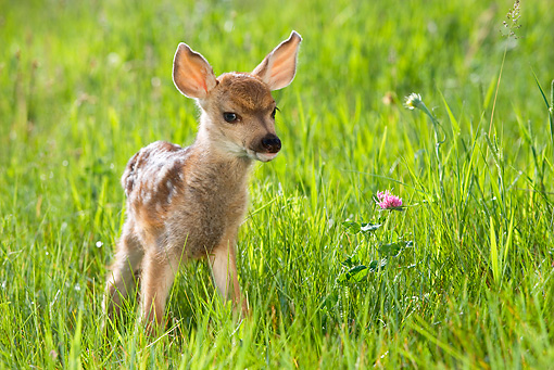 WLD 13 KH0004 01 © Kimball Stock Mule Deer Fawn Standing In Field