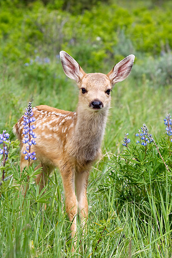 WLD 13 KH0005 01 © Kimball Stock Mule Deer Fawn Standing In Field