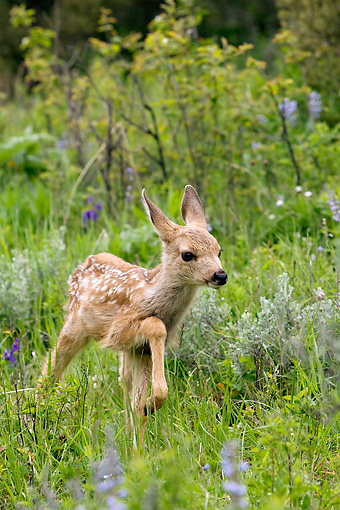 WLD 13 KH0007 01 © Kimball Stock Mule Deer Fawn Walking In Field