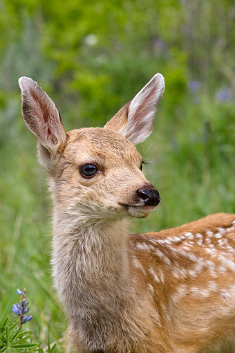 WLD 13 KH0008 01 © Kimball Stock Head Shot Of Mule Deer Fawn Standing In Field