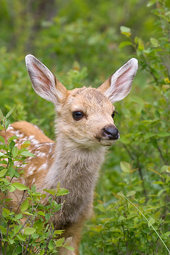 WLD 13 KH0009 01 © Kimball Stock Head Shot Of Mule Deer Fawn Standing In Field