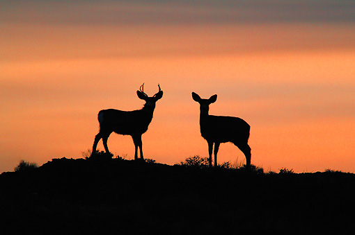 WLD 13 KH0010 01 © Kimball Stock Silhouette Of Mule Deer Buck And Doe Standing In Field At Sunset