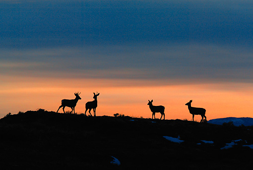 WLD 13 KH0011 01 © Kimball Stock Silhouette Of Mule Deer Herd Standing In Field At Sunset