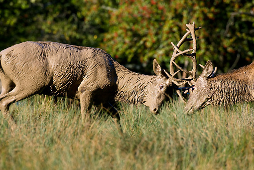 WLD 13 KH0016 01 © Kimball Stock Two Muddy Red Deer Bucks Fighting On Grass