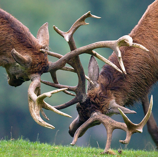 WLD 13 KH0018 01 © Kimball Stock Close-Up Of Two Red Deer Stags Fighting On Grass