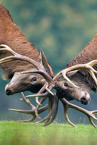 WLD 13 KH0019 01 © Kimball Stock Close-Up Of Two Red Deer Stags Fighting On Grass