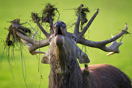 WLD 13 KH0022 01 © Kimball Stock Head Shot Of Red Deer Stag Bellowing With Dirt And Grass On Antlers