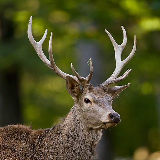 WLD 13 KH0028 01 © Kimball Stock Close-Up Of Red Deer Stag Standing In Meadow At Edge Of Woods