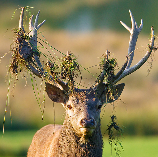 WLD 13 KH0030 01 © Kimball Stock Head Shot Of Red Deer Stag With Grass And Dirt On Antlers