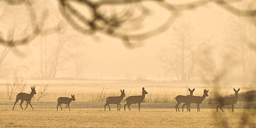 WLD 13 KH0032 01 © Kimball Stock Silhouette Of Roe Deer Walking Through Meadow In Spring Alsace, France