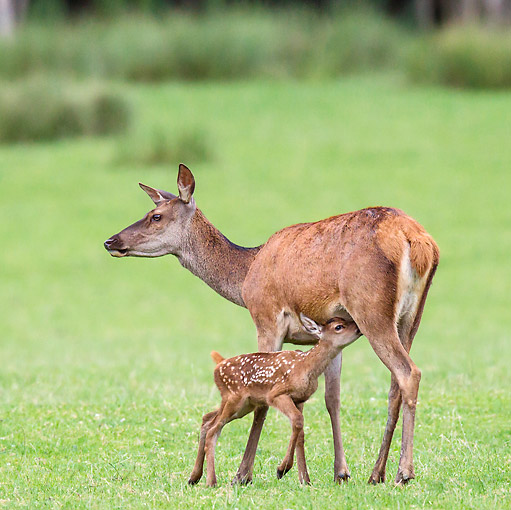 WLD 13 KH0035 01 © Kimball Stock Red Deer Doe Standing On Wet Meadow With Nursing Fawn France