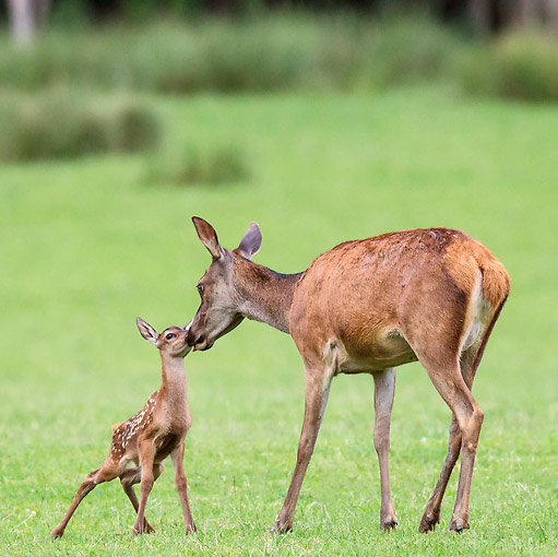 WLD 13 KH0036 01 © Kimball Stock Red Deer Doe Nuzzling Fawn In Meadow At Edge Of Forest France