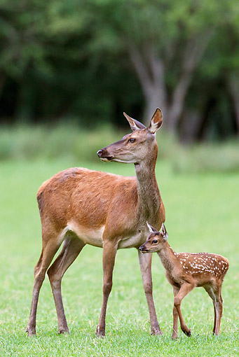 WLD 13 KH0037 01 © Kimball Stock Red Deer Doe Standing With Fawn In Meadow At Edge Of Forest France