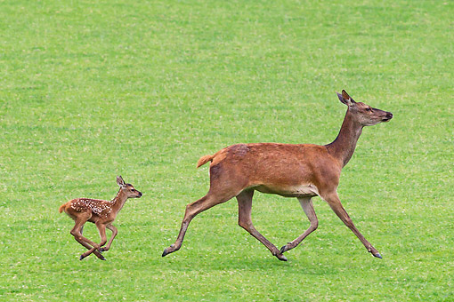 WLD 13 KH0038 01 © Kimball Stock Red Deer Doe And Fawn Running In Meadow France