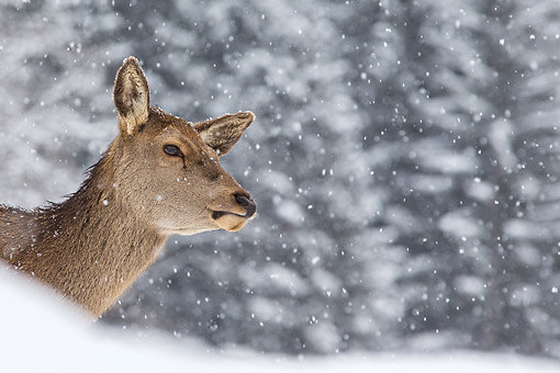 WLD 13 KH0039 01 © Kimball Stock Close-Up Of Red Deer Doe In Snow Germany