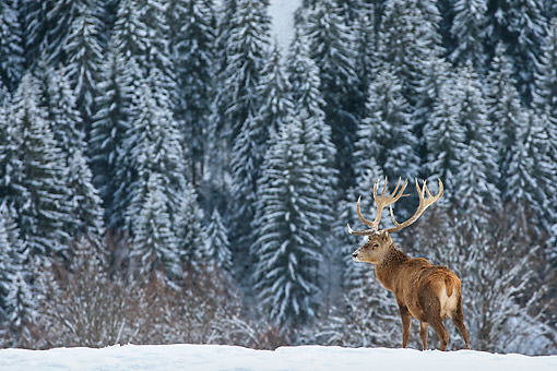 WLD 13 KH0040 01 © Kimball Stock Red Deer Male Standing In Snowy Mountains Germany