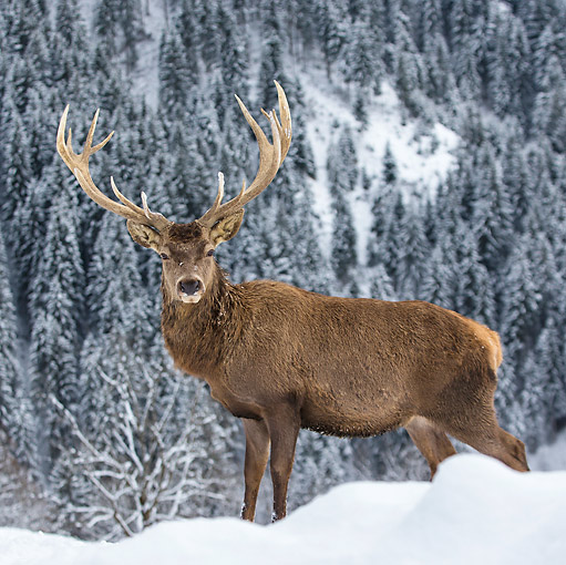 WLD 13 KH0043 01 © Kimball Stock Red Deer Male Standing In Snowy Mountains Germany