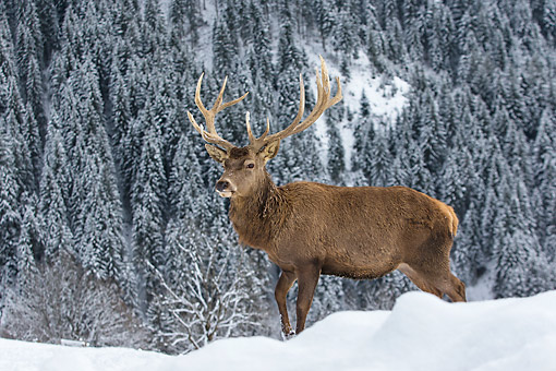 WLD 13 KH0044 01 © Kimball Stock Red Deer Male Standing In Snowy Mountains Germany