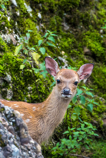 WLD 13 KH0046 01 © Kimball Stock Portrait Of Sika Deer Fawn Standing In Forest Asia