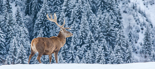 WLD 13 KH0048 01 © Kimball Stock Red Deer Male Standing In Snowy Forest In Early Winter Germany