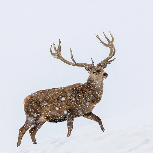 WLD 13 KH0049 01 © Kimball Stock Red Deer Male Walking Through Snowstorm In Early Winter Germany