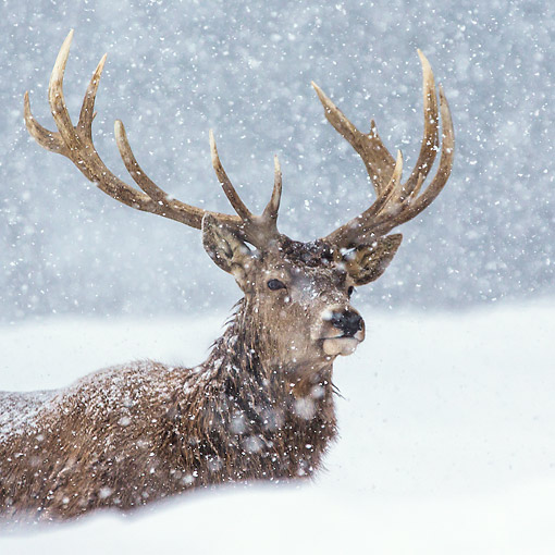 WLD 13 KH0050 01 © Kimball Stock Red Deer Male Laying In Snowstorm In Early Winter Germany