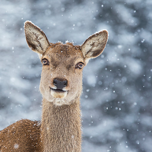 WLD 13 KH0052 01 © Kimball Stock Head Shot Of Red Deer Doe In Snowy Mountains Germany